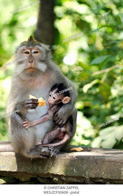 Indonesia, Bali, Sacred Monkey Forest, long tailed macaque with young animal