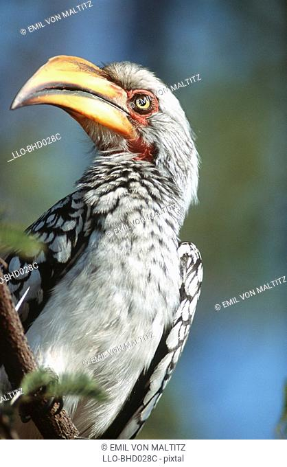 Close-up of a Southern Yellow-billed Hornbill Tockus leucomelas Perched on a Branch  Nkasa Rupara National Park, Eastern Caprivi, Namibia