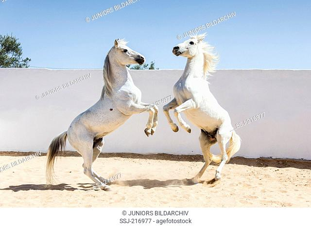Arabian and Barb Horse. Two gray stallions playfighting in a paddock. Tunisia