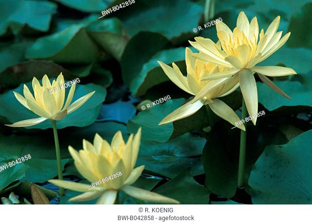 mexican waterlily, banana waterlily, yellow waterlily (Nymphaea mexicana), blooming plants