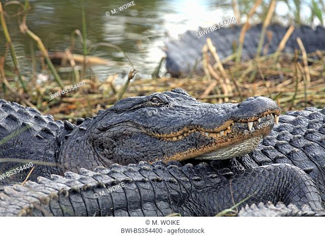 American alligator (Alligator mississippiensis), alligator lying at the shore of a shallow lake; portrait, USA, Florida, Everglades National Park