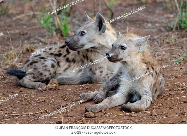 Spotted hyenas or Laughing hyenas (Crocuta crocuta), lying, looking in the same direction, Kruger National Park, South Africa, Africa