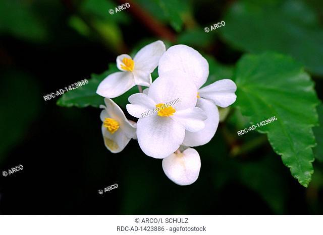 Kubanische Begonie, Begonia cubensis, Vorkommen Mittelamerika