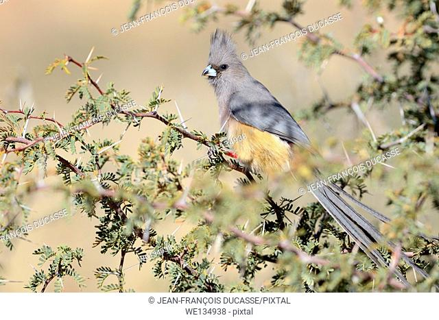 White-backed Mousebird (Colius colius), sitting on a branch, Kgalagadi Transfrontier Park, Northern Cape, South Africa, Africa