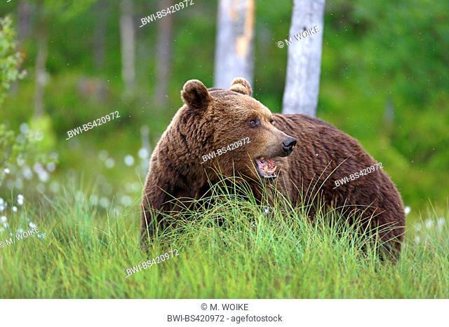 European brown bear (Ursus arctos arctos), stands at the edge of a wood, Finland, Vartius