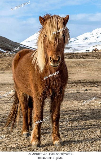 Icelandic horse (Equus przewalskii f. caballus), brown, stands in barren landscape, Southern Iceland, Iceland