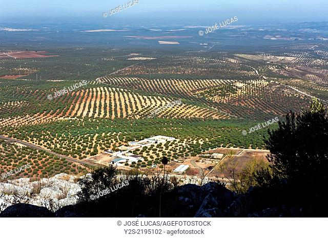 Landscape of olives groves, Alameda, Malaga-province, Region of Andalusia, Spain, Europe