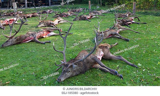 Red Deer (Cervus elaphus). Hunted stags. Bavaria, Germany