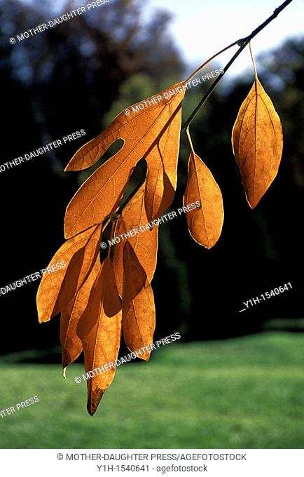 Fall branch of Sassafras albidum, showing leaf variety with three leaf patterns on same plant  When leaves are ground they are used to make filé powder an...