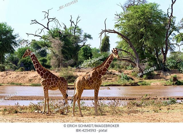 Reticulated giraffe or Somali giraffes (Giraffa reticulata camelopardalis) running along river, Samburu National Reserve, Kenya