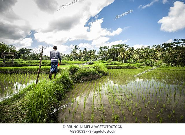 Indonesian farmer in Bedulu rice paddies (Gianyar Regency, Bali, Indonesia)