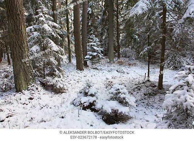 Winter landscape of natural forest with pine trees trunks and spruces,Bialowieza Forest,Poland,Europe