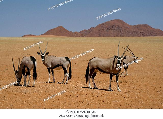 Oryx,Gemsbok,Oryx Gazella,a group of oryx in the Namib Rand Nature Reserve,western Namibia,Africa. The oryx has evolved physiological adaptations allowing it to...