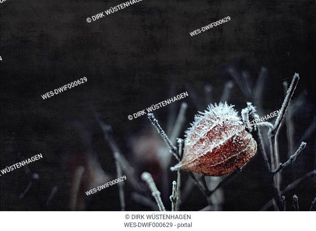 Hoarfrost on Chinese lantern flower
