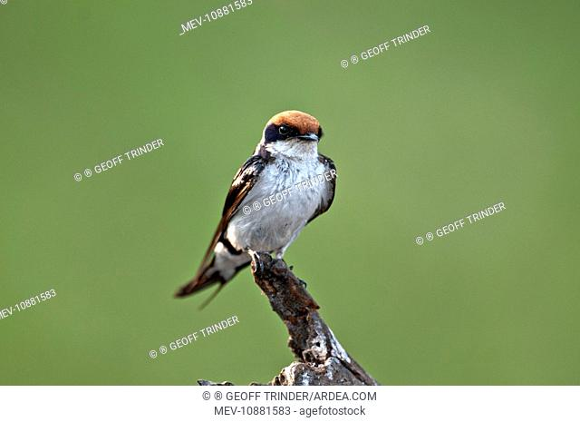 Wire-Tailed Swallow - perched on dead stump (Hirundo smithii). Chobe River - Botswana