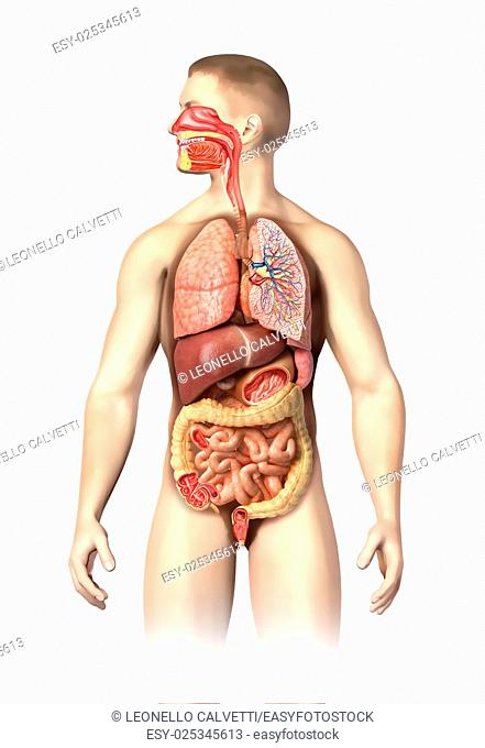 Man anatomy full Respiratory and digestive systems cutaway. Further details cutaways are made on different organs,including mouth