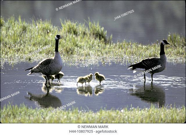 Animal, Animals, Bird, Birds, Branta canadensis, Canada goose, Fledglings, Geese, North America, Waters