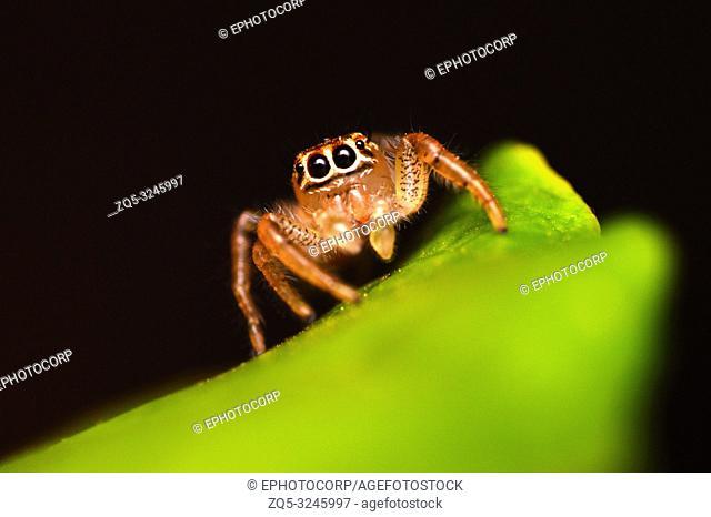 Female Jumping spider - Thyene imperialis, Satara, Maharashtra, India