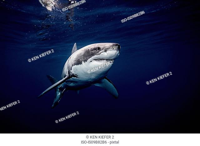 Underwater view of white shark swimming in blue sea, Sinaloa, Mexico