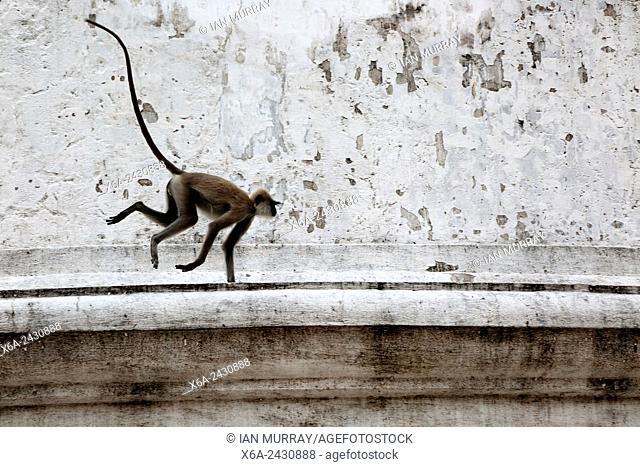 UNESCO World Heritage Site, the ancient city of Polonnaruwa, Sri Lanka - monkey on Kiri Vehera stupa walls Hanuman Langur Semnopithecus entellus