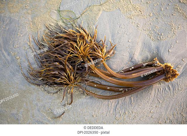 bull kelp seaweed washed up on wickaninnish beach in pacific rim national park near tofino, british columbia canada
