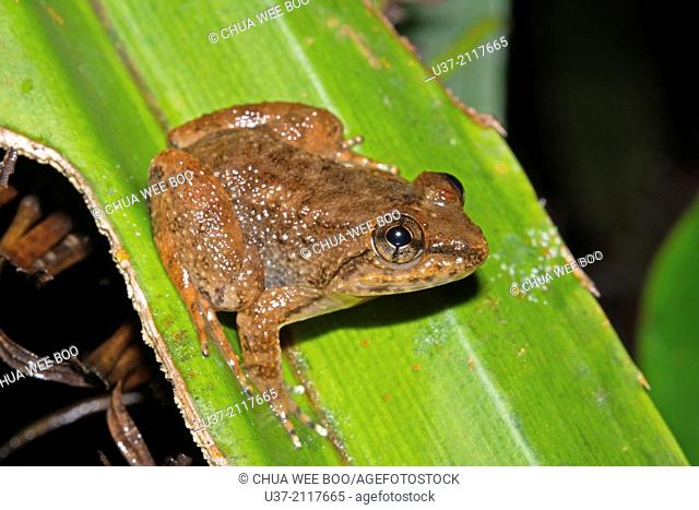 Kuhl's Creek frog Limnonectes kuhlii. Image taken at Kubah National Park, Sarawak, Malaysia