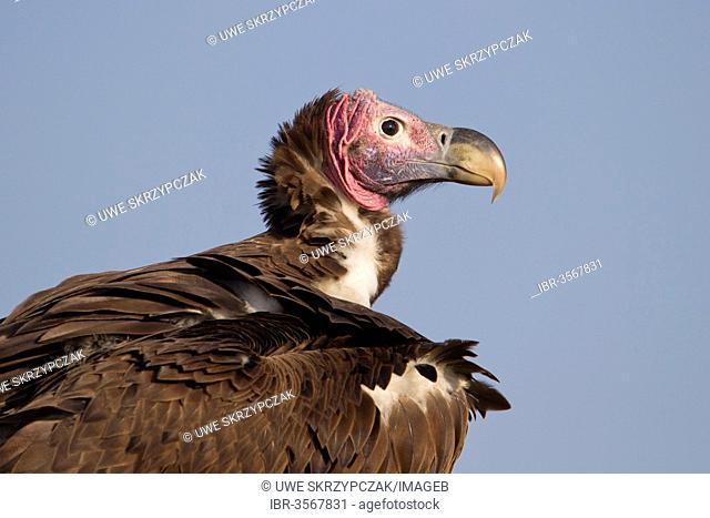 Lappet-faced Vulture or Nubian Vulture (Torgos tracheliotus)