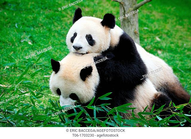 Huan Huan (male) and Yuan Zi (female) play-fighting. Young couple (3 years old) arrived from Chengdu (China) at the Beauval Zoo in 2012
