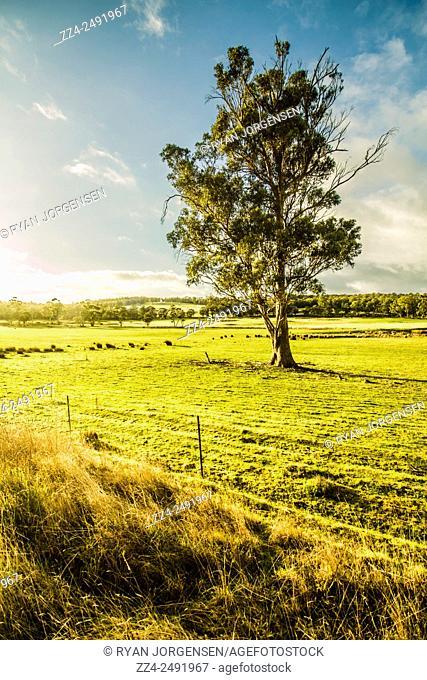 Sharp HDR landscape scene of a farming tree growing on lush green pasture. Barnes Bay, Bruny Island, Tasmania, Australia
