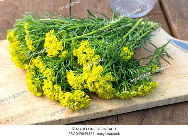 Fresh Cypress spurge, or Euphorbia cyparissias twigs on a table