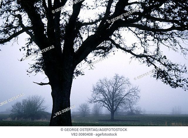 Willamette Valley oaks in winter, Linn County, Oregon