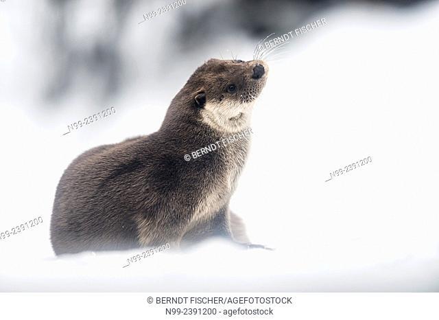 Otter (Lutra lutra), sitting on frozen mountain creek, National Park Bayerischer Wald, Bavaria, Germany