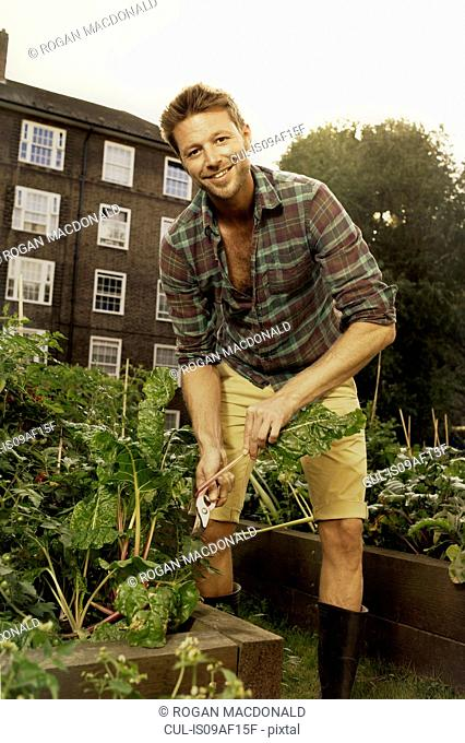 Mid adult man harvesting salad leaf on council estate allotment