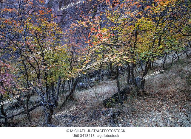 Fall colors have arrived at Zion National Park, Utah
