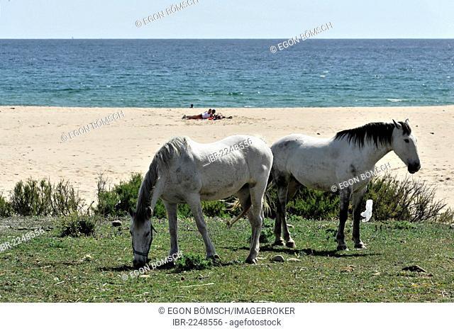 Andalusian horses, white horses, beach near Tarifa, Andalusia, Spain, Europe