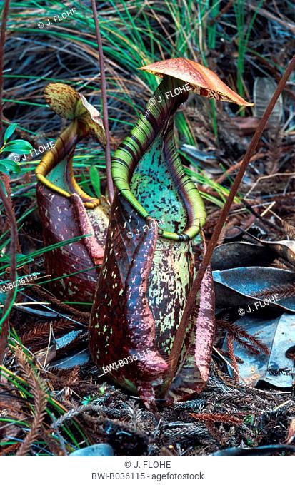 pitcher plant (Nepenthes albomarginata), tubular shaped leaves, Malaysia, Sarawak, Baku NP