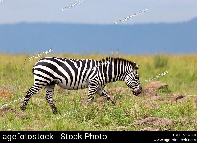 The Zebra family grazes in the savanna in close proximity to other animals