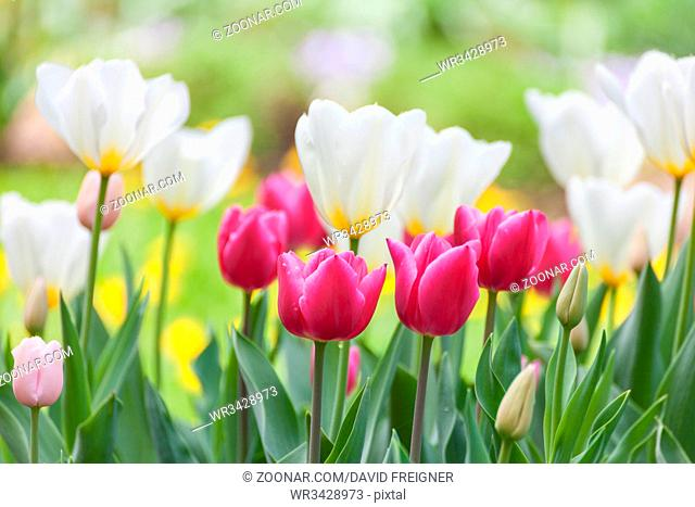 Many beautiful tulips in a row with different colours in the garden