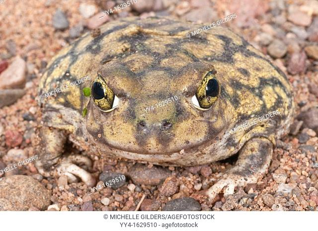 Couch's spadefoot toad, Scaphiopus couchii, is native to the southwestern United States, northern Mexico, and the Baja peninsula