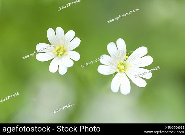 Greater Stitchwort (Rabelera holostea) flowers formerly Stellaria holostea also known as Addersmeat and Greater Starwort