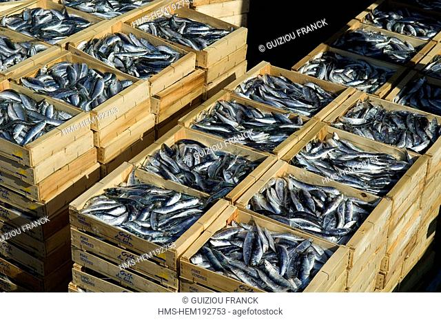 France, Pyrenees Orientales, Port Vendres, back from fishing, sardines arrival