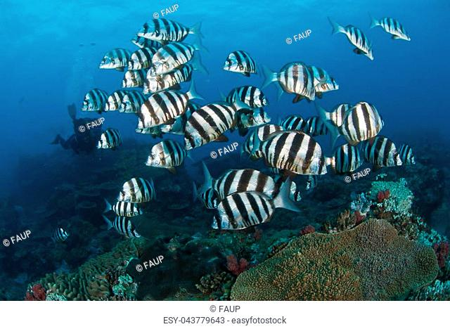 Black and white striped fish swimming over a reef as a diver approaches