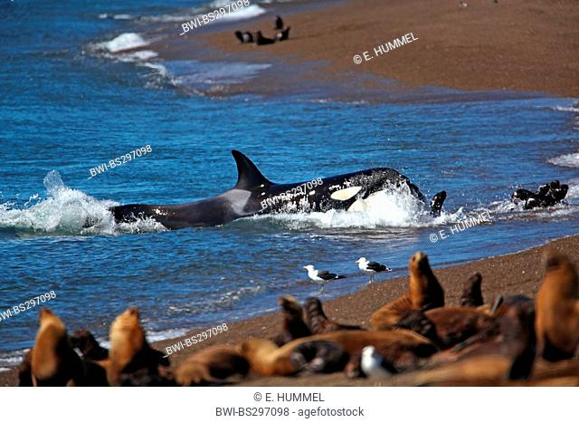 orca, great killer whale, grampus (Orcinus orca), attack on South-American Sea-Lion-Pup, Argentina, Peninsula Valdes