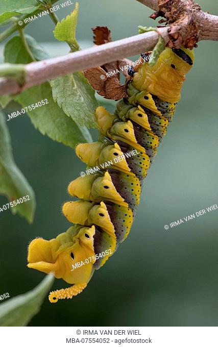 Caterpillar of Death's Head Hawkmoth in the final instar, on an elder branch, clearly visible legs, spiracles and posterior horn