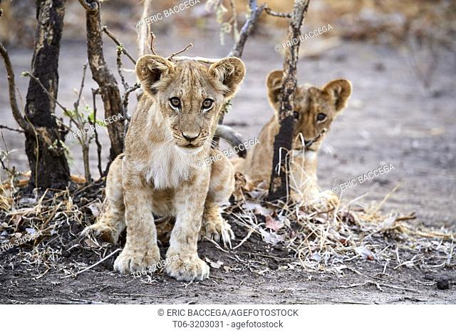 Two African lion cubs sitting (Panthera leo) South Luangwa National Park, Zambia