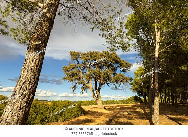 Encina (Quercus ilex) and Aleppo pine (pinus halepensis). Almansa. Albacete province, Castile-La Mancha, Spain