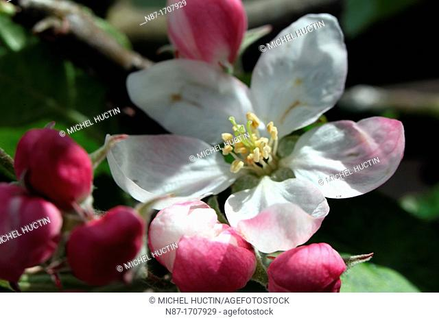 flowers and buds of apple