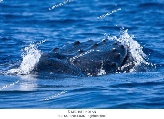 An adult male note the bloody tubercles from fighting for mates humpback whale Megaptera novaeangliae in the AuAu Channel between the islands of Maui and Lanai