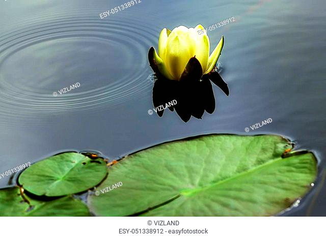 Beautiful blooming flower. Close-up white water lily on a pond. Nymphaea alba