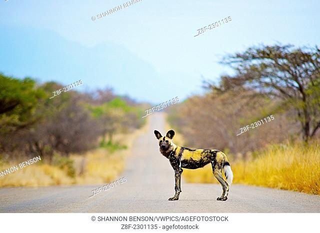 African Wild Dog is a highly successful hunter, with the majority of its chases ending in kills. It preys mainly on medium-sized ungulates